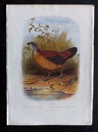 Jones & Cassell 1869 Antique Bird Print. Painted Spur Fowl